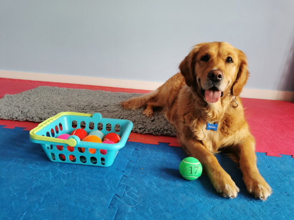An adult dog with a basket of balls with numbers for the online dog bingo sessions. - ©Dogs For Good